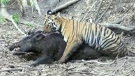 Tiger  killing huge Wild boar
